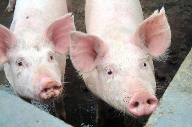 动物疫苗行业:猪瘟疫苗强免取消,市场化加速推进