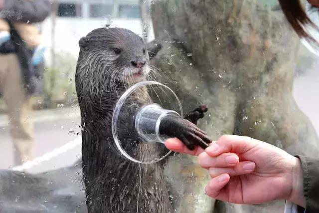 为了拉票,几家动物园,水族馆的水獭选手还举办了握手会,水獭们会把小