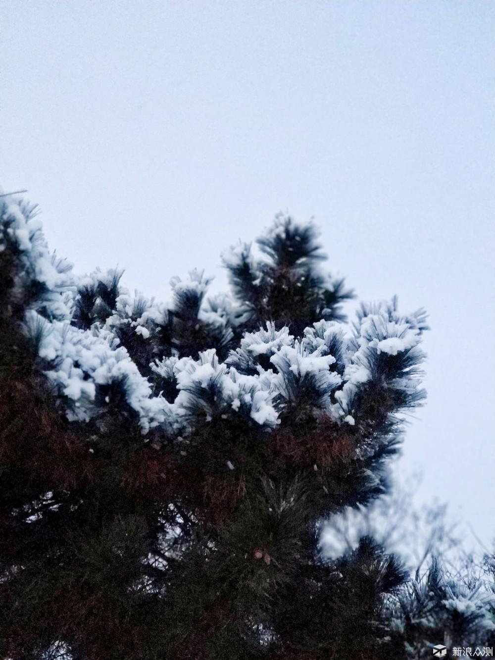 松树雪景_新浪众测