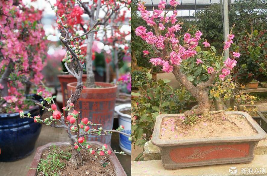 春节盆栽花卉,教你如何选购_新浪众测