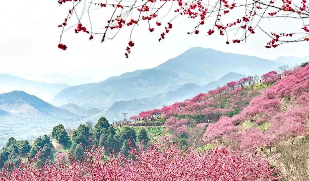 梅花盛开的山岗